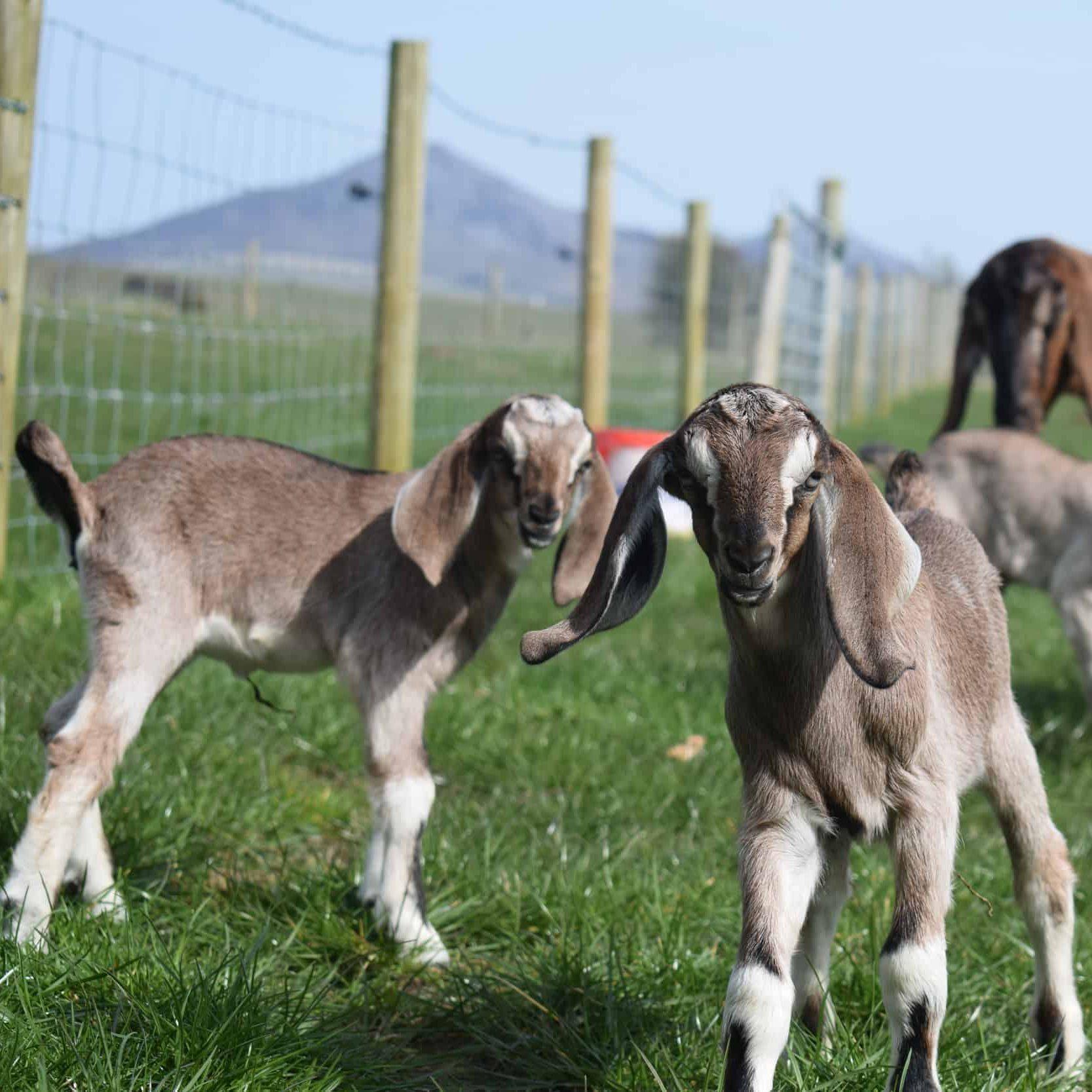 купить нубийскую козу и козленочка