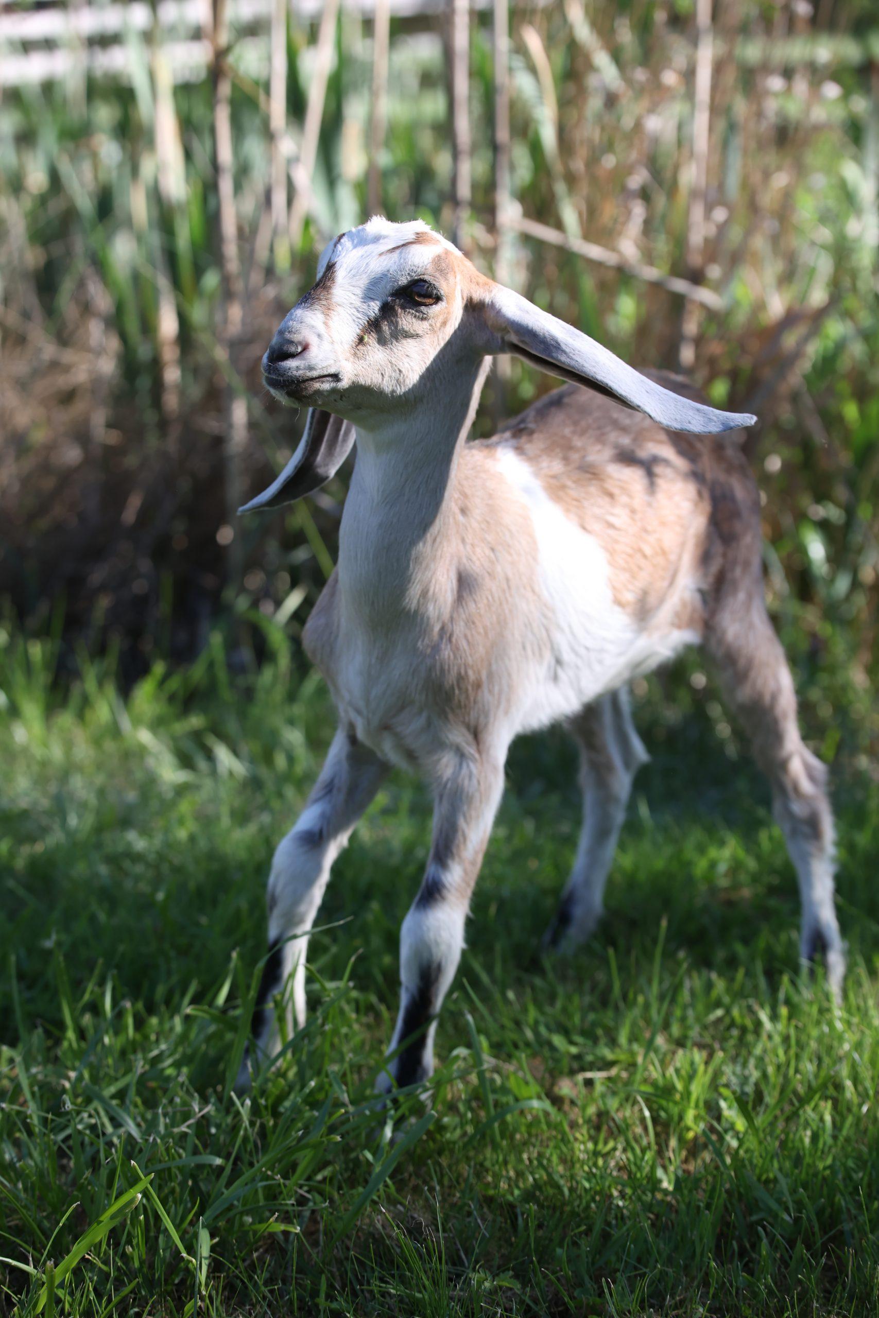Нубийские козы краснодарский край