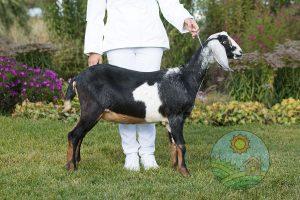 Коза Валенсия англонубийская коза